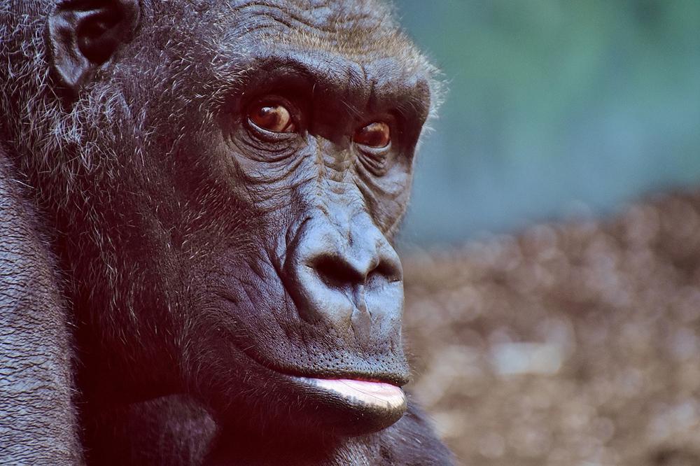 Stammt der Mensch vom Affen ab?